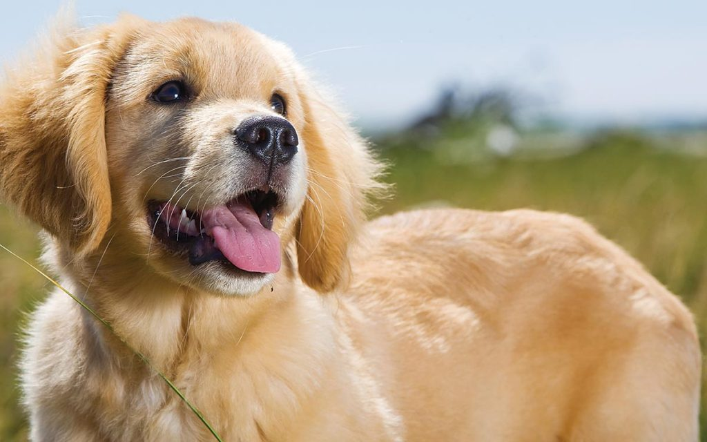 perro protector energetico poderoso