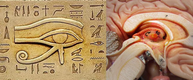 glándula pineal anatomía ojo horus