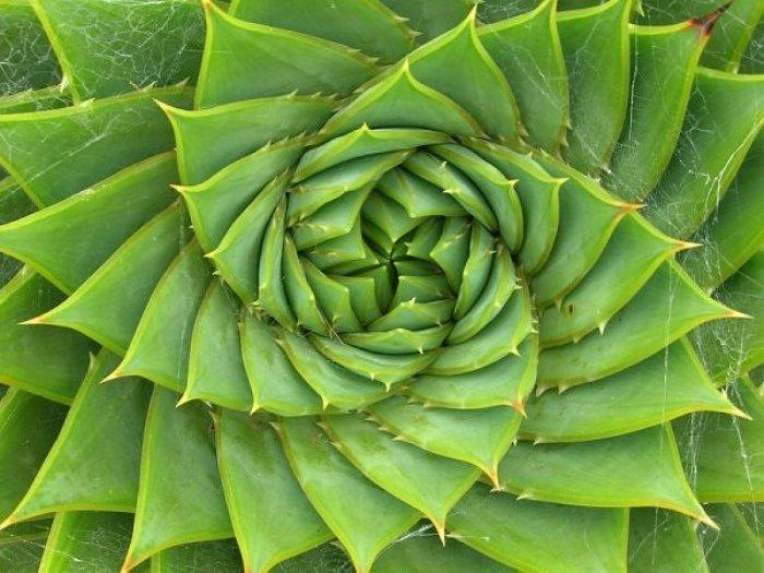 La spirale de fibonacci dans l'agencement des feuilles d'aloe vera