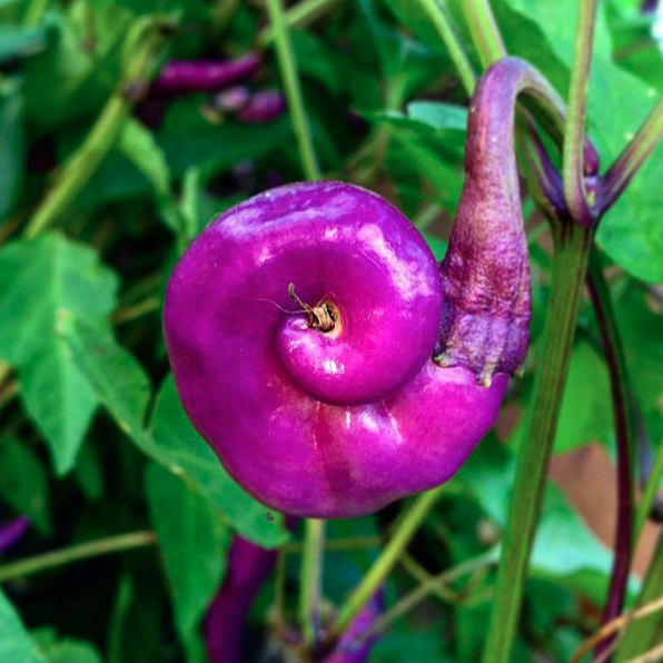 Spirale de fibonacci dans les légumes