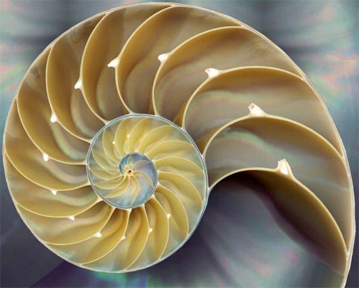 Les coquillages se forment en suivant la spiral de fibonacci