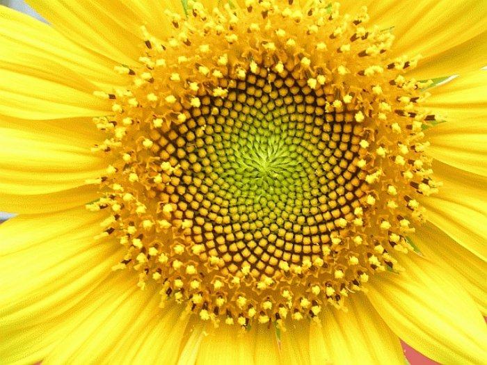 Agencement des graines de tournesol suivant la spirale de fibonacci