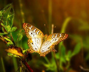 animal totem papillon
