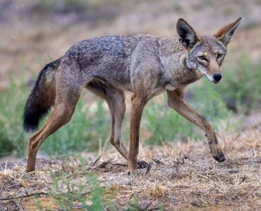 coyote de profil