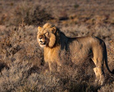 animal totem du lion