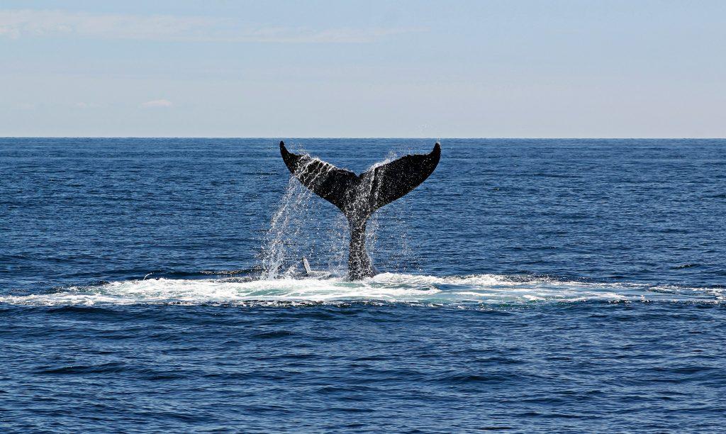 animales totems ballena