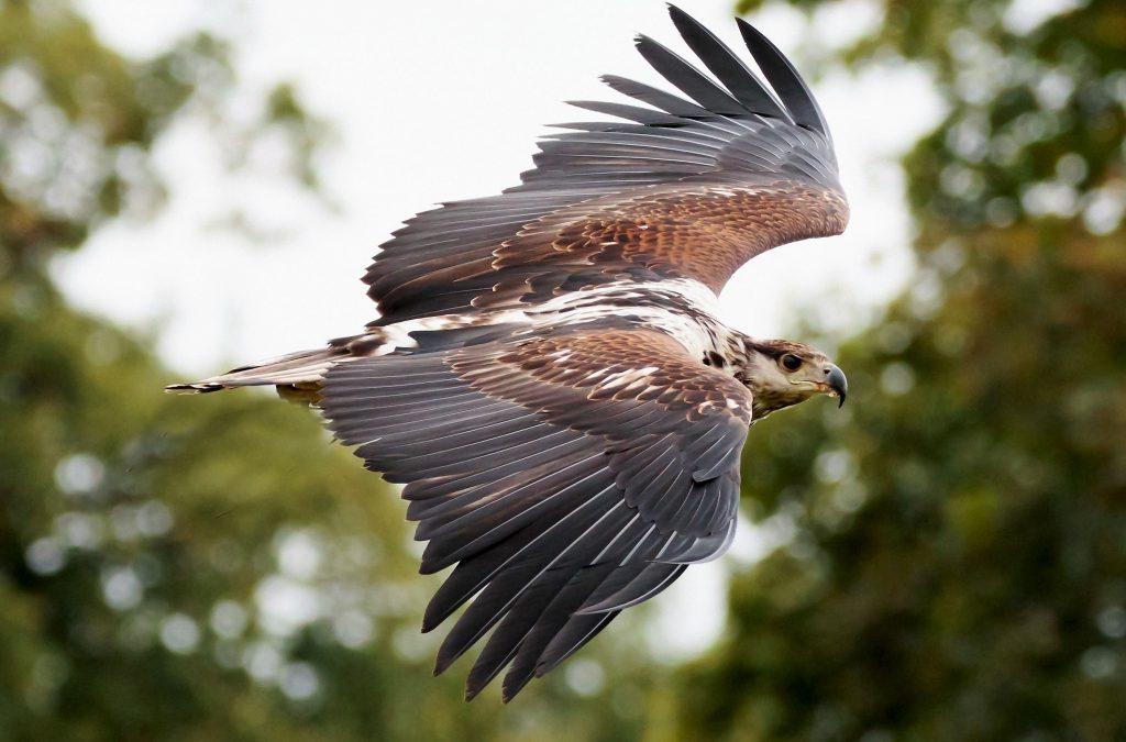 halcón animal tótem