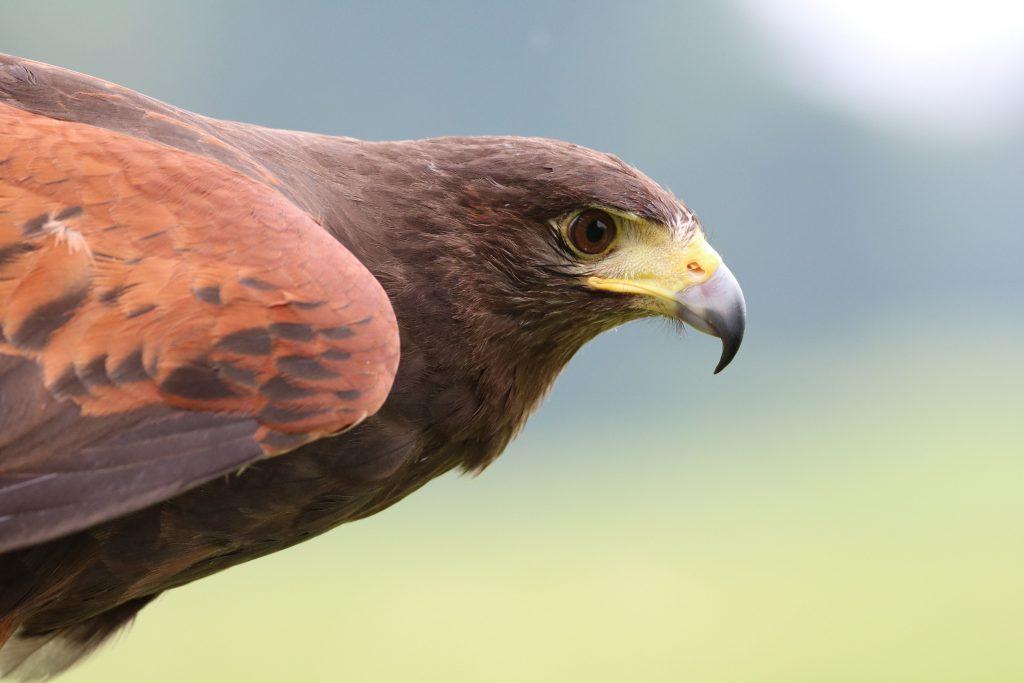 faucon animal totem