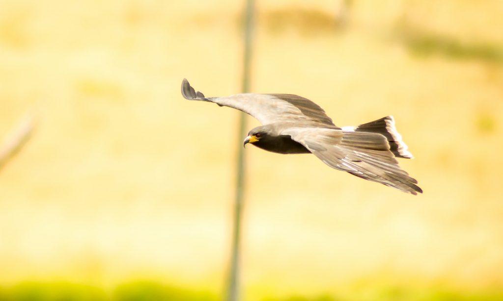 halcón animal rápido