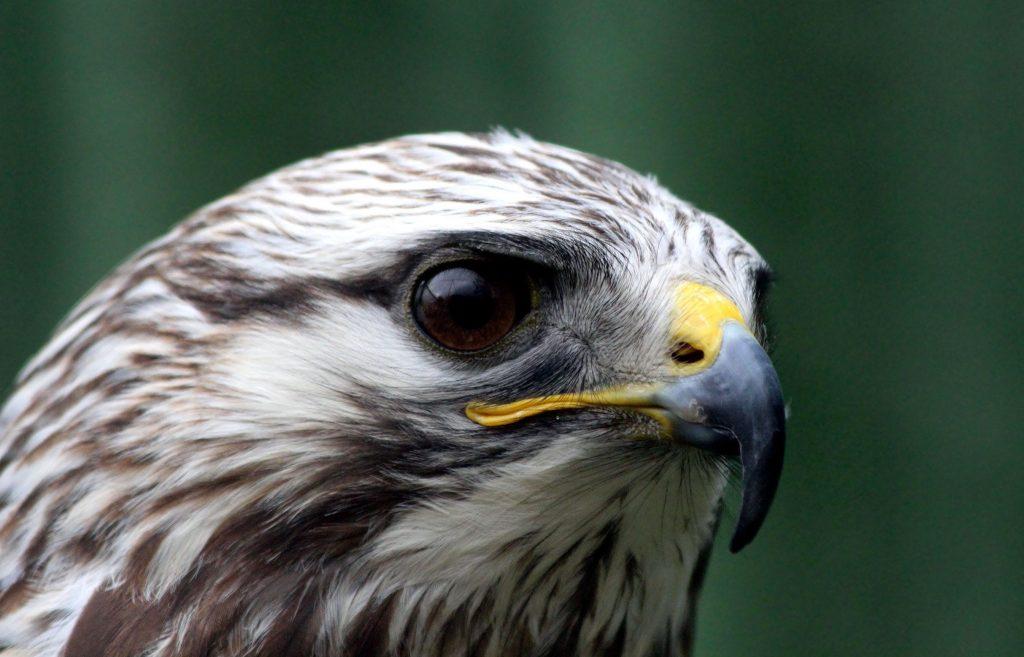 halcón intuición visión