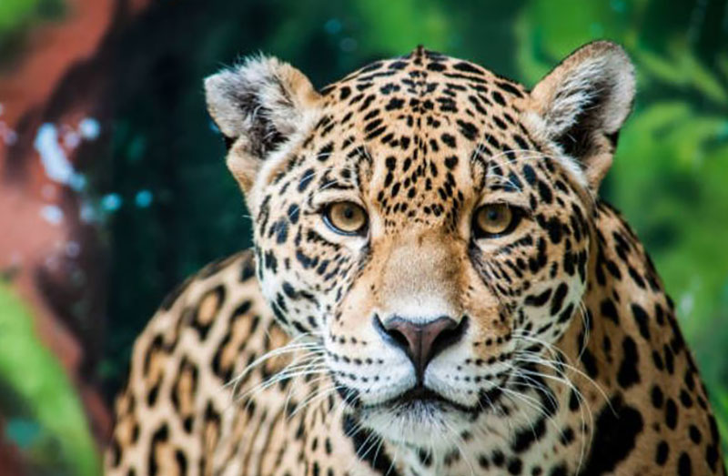 jaguar animal totem