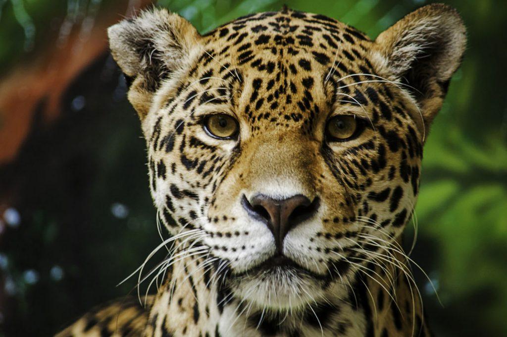 jaguar significados